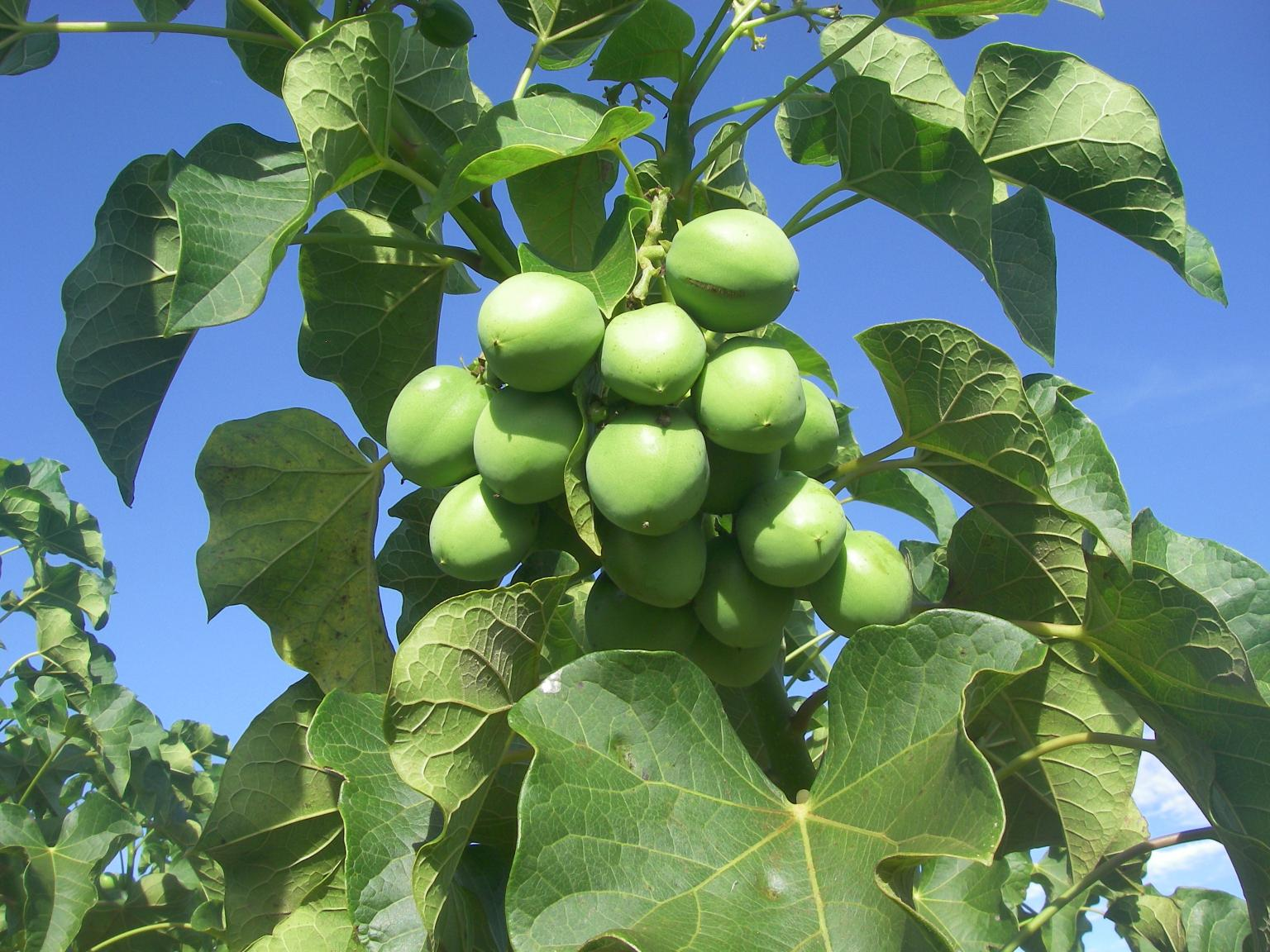Jatropha plants thrive well in tropical or sub-tropical climates